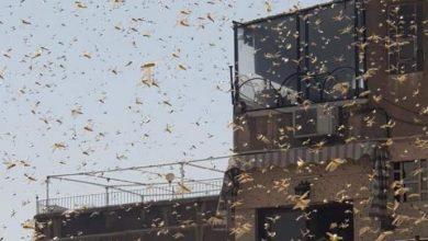 صورة سرب من الجراد يقتحم مدينة دمشق