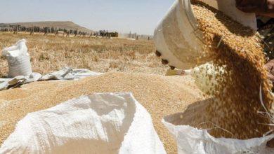 صورة رفع سعر شراء محصول القمح من الفلاحين